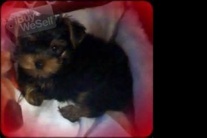 ADOPTION VET CHECK WITH ALL HEATH RECORDS YORKIES (California ) Escondido