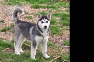 Add this Husky puppies for your family