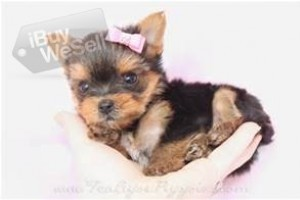 Add this yorkies puppies for your family