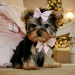 Adorable and beautiful terrier yorkie for sale (South Carolina ) Charleston