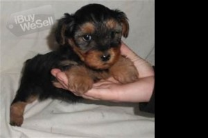 BEST EVER SEEN YORKIES PUPPIES FOR ADOPTION (California ) Chula Vista