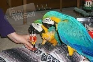 Beautiful Blue and Gold Macaws, Skåne