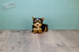 Beautiful Teacup Yorkshire Terrier Puppies available for sale