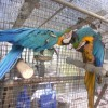 Breeders Pairs Exotic Birds For Sale
