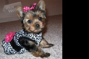 Fantastic Yorkies Pups Vet Chcek With All Health Records For Sale!!! (California ) Fremont