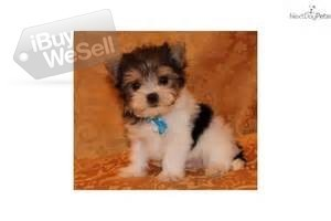 Fantastic and welcoming Yorkies puppies for good home (California ) Daly City