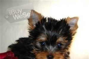 Home Raised Yorkies Puppies Available Now (Arizona ) Glendale