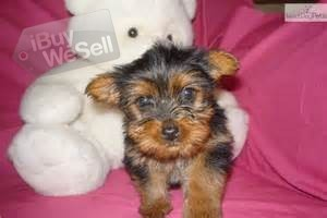 Home Trained Males And Females Teacup Yorkie  Puppies For adoption