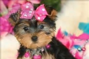 Males and Females cute yorkie Puppies For Adoption !!!..