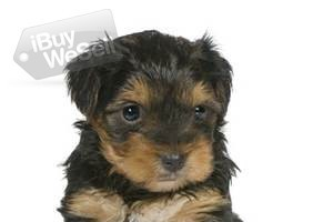 Teacup Yorkies Puppies For  Adoption excellent and playful (California ) Glendale