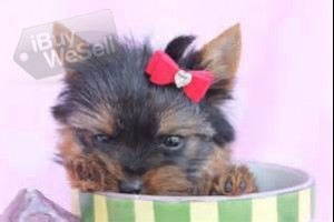 They are very happy and playful yorkie puppies and like to give kisses and cuddle for adoption