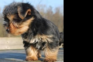 We have Beautiful Quality Teacup Yorkies Puppies for sale
