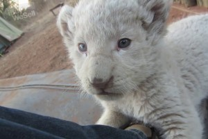 Well Tamed white lion cubs For sale Jönköping