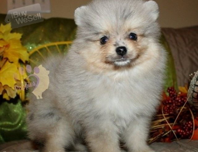 male and female pomeranian puppies for new homes (New York ) New York