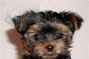 pick up 2 cute Yorkies puppies available (Alabama ) Montgomery