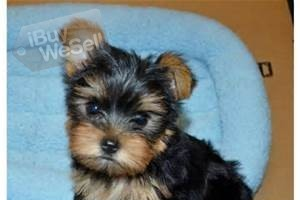 welcoming this Yorkies puppies for sale