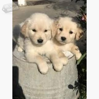 2 Adorable Golden Retriever puppies for rehoming