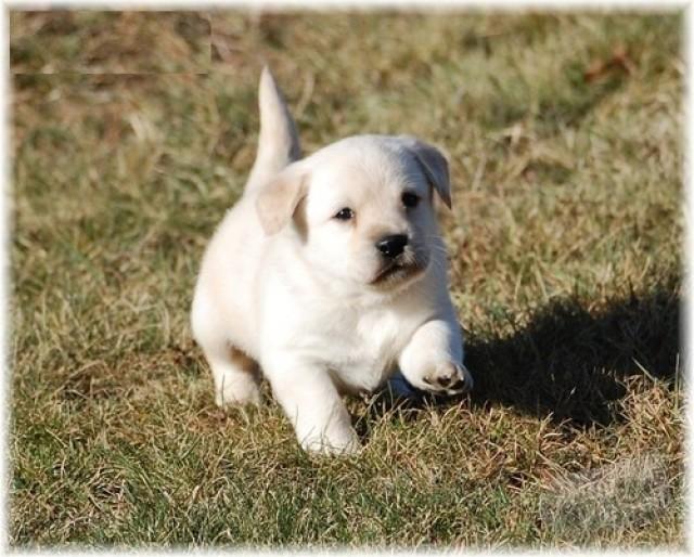 Labrador Till Salu