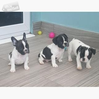 3 Fransk Bulldog Kc Registrerad