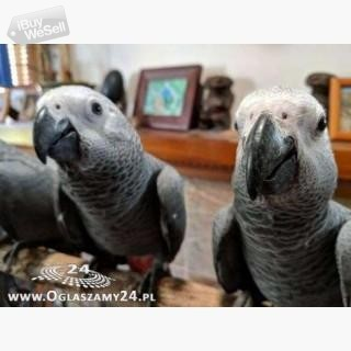 African Grey Parrots and their fertile eggs for sale. (England ) Birmingham
