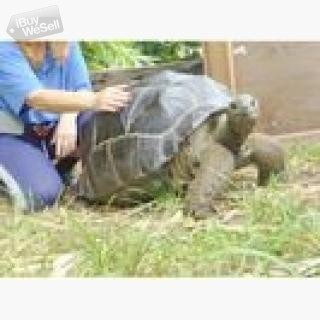 Aldabra Giant Tortoise for adoption.