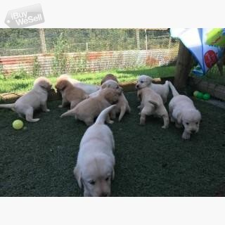 Amazing Labrador puppies