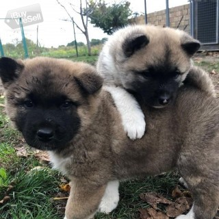 American Akita pupies for sale.