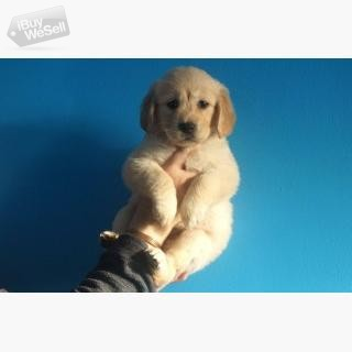 Attraktiva Golden Retriever valpar