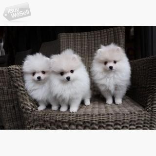 Beautifu Pomeranian puppies available.