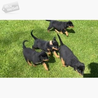Beautifu Rottweiler puppies.