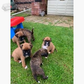 Beautiful Boxer puppies,