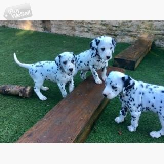 Beautiful Dalmatian Pups,