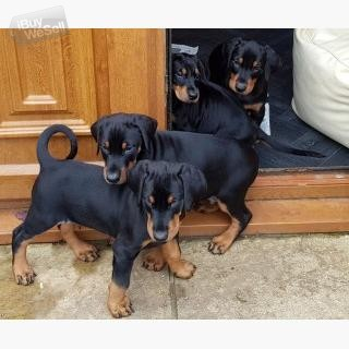 Beautiful Doberman puppies,