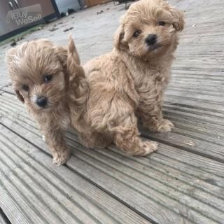 Beautiful Maltipoo Puppies.