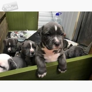 Beautiful Staffordshire Bull Terrier pups,