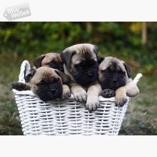 Beautiful chunky bullmastiff puppies for sale.