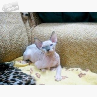 Canadian Sphynx Kittens For sale (England ) Bradford