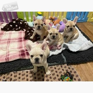 Cool French Bulldog puppies available.