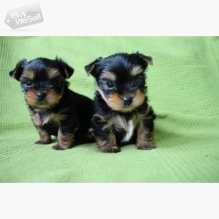 Cute Yorkie Puppies For Good Homes