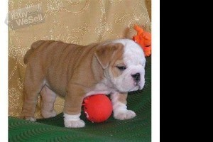 Excellent English Bulldog puppies