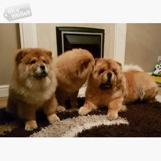 Fantastic Litter Of Chow Chow Puppies
