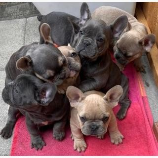 French Bulldogs,