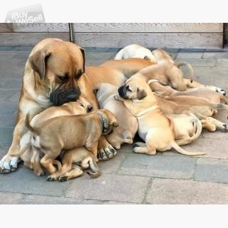 Gorgeous Boerboel pupies,