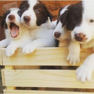 Gorgeous Border Collie puppies,