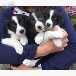 Gorgeous Border Collie puppies.