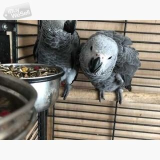 Hand Reared Baby African Grey Parrrots   for sale