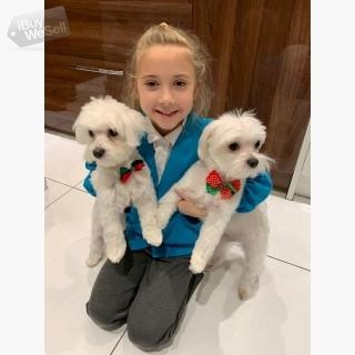 KC Champion Maltese puppies available for re-homing