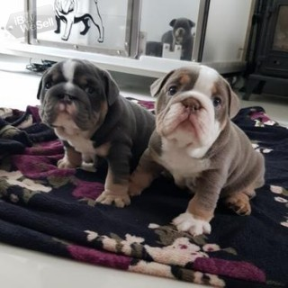 KC Reg English bulldog puppies available