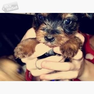 Kc Reg Teacup Yorkie Puppies available for Adoption