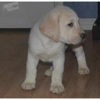 Labrador retriever puppies for X mass